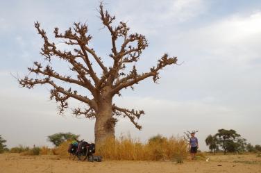 Baobab, Sénégal