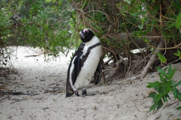 Un pingouin, en Afrique!