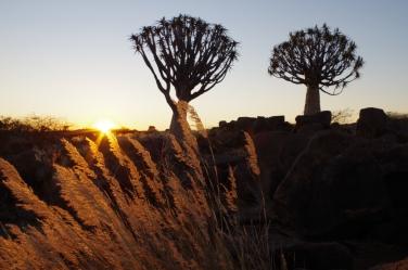 Arbres du désert, les kokerboom.