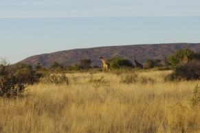 De belles girafes