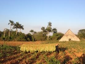 Cuba, champs de tabac